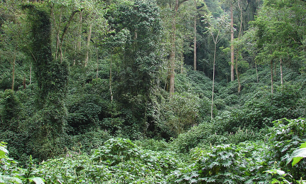 Bwindi Impenetrable Forest Cover