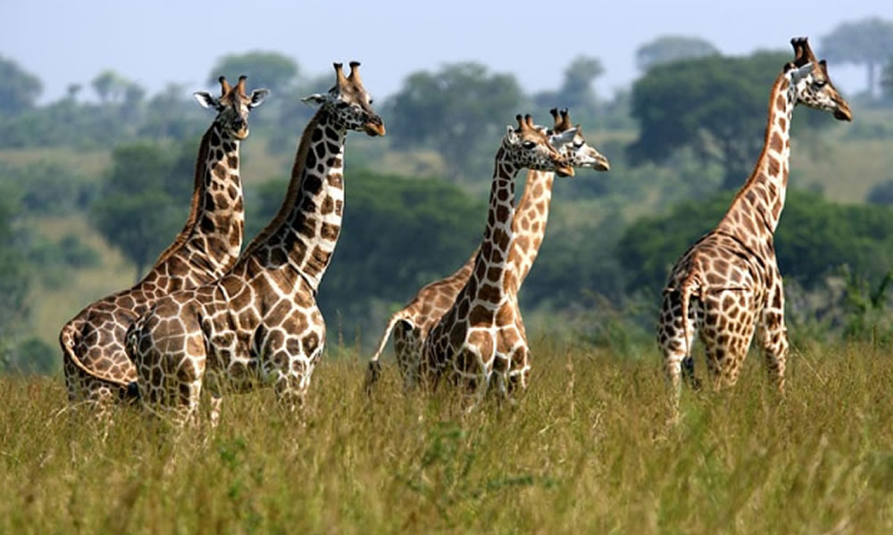 Giraffes at National Parks in Uganda