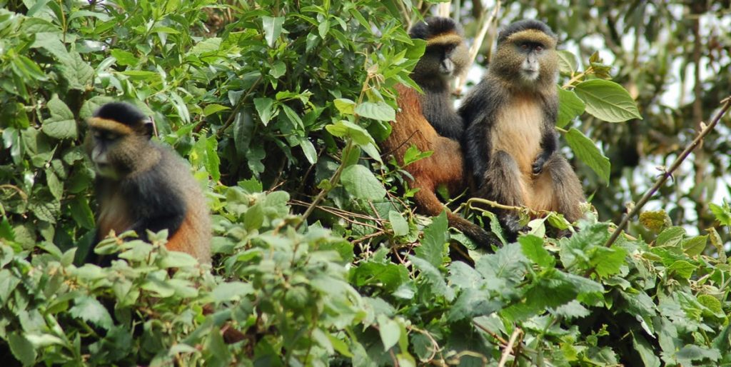 Golden Monkey Trekking In Uganda by Africa One