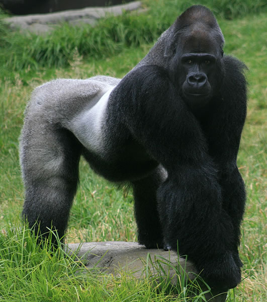 Gorillas don't live in the city, track them down in Uganda forests with Africa One Tours and Travel