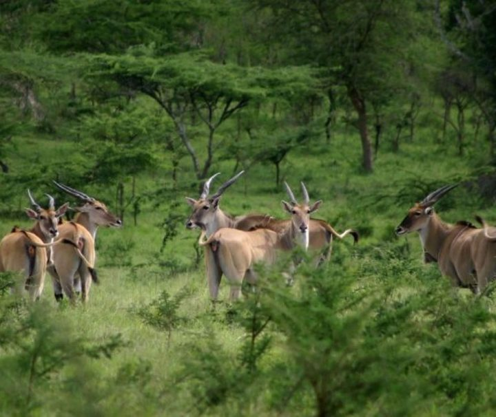 Lake Mburo National Park atelopes in the park located in Uganda