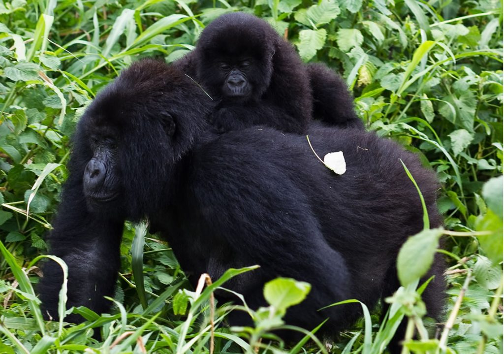 Mgahinga Gorilla National Park in Uganda