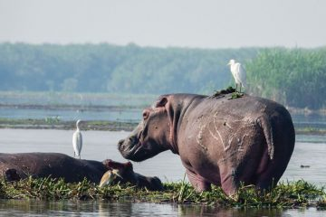 Murchison Falls National Park Hippo